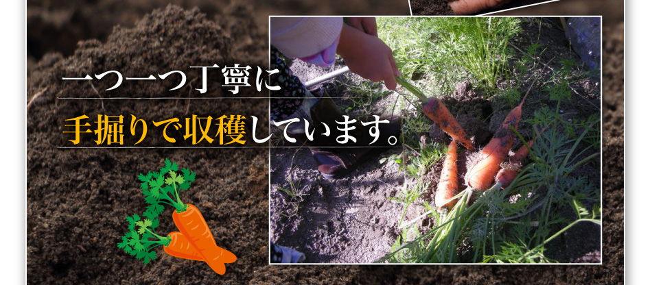 一つ一つ丁寧に手掘りで収穫しています。